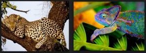 leopard and chameleon
